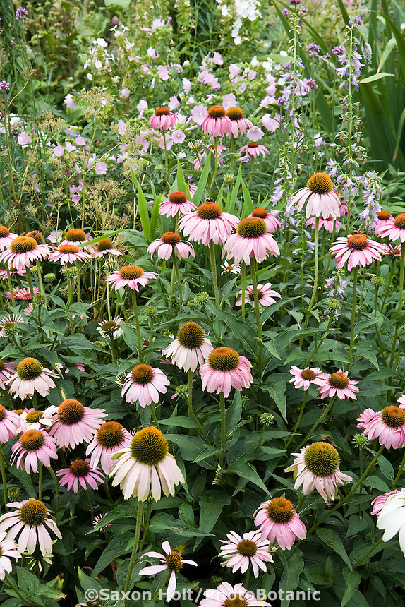 Purple Cone Flower Echinacea purpurea native plant wildflower flower in Colorado perennial garden