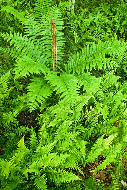 Cinnamon ferns in beech forest, Unaka Mountain Wilderness