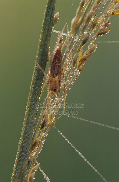 Green Lynx Spider, Peucetia viridans, adult on grass with dew camouflaged , Lake Corpus Christi, Texas, USA