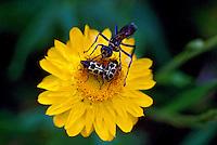Animais. Insetos. Besouros sobre flor. SP. Foto de Dudu Cavalcanti.