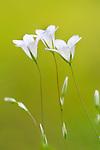 Fairy Flax, Linum Catharticum, Lesvos Island Greece  , lesbos