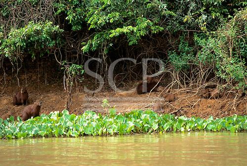Pantanal, Mato Grosso State, Brazil; capybara (capivara; Hydrochoerus capybara) with young on the river banks.