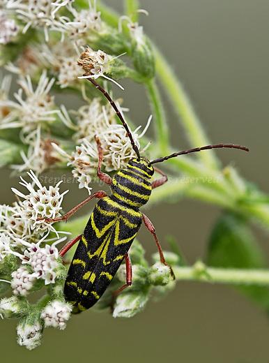 Locust Borer beetle on Boneset.