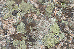 Map Lichen, Rhizocarpon geographicum, on rocks, Sierra de Andujar Natural Park, Sierra Morena, Andalucia, Spain, clear air indicator, non polluted,