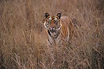 Tiger, Panthera tigris, Bandhavgarh National Park, Madhya Pradesh, India