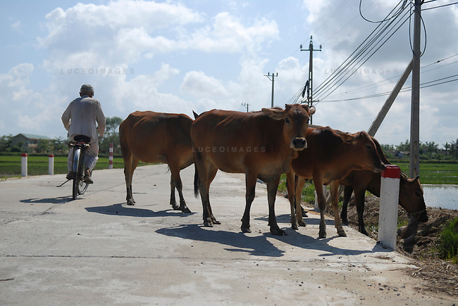 Vietnamese cows block the road while grazing outside of Ho Chi Minh City, Vietnam.