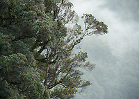 Native rainforest, southern rata in rain, Doubtful Sound, Fiordland National Park, UNESCO World Heritage Area, Southland, New Zealand, NZ