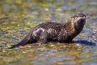 North American river otter or the Canadian river otter (Lutra canadensis or Lontra canadensis) Bozeman, Montana