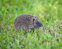 Young hedgehog, Chipping, Lancashire.