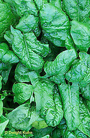 HS21-344x  Spinach - Tyee variety