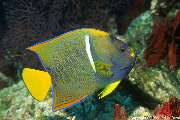Juvenile King Angelfish.(Holacanthus passer).Los Cabos,Mexico