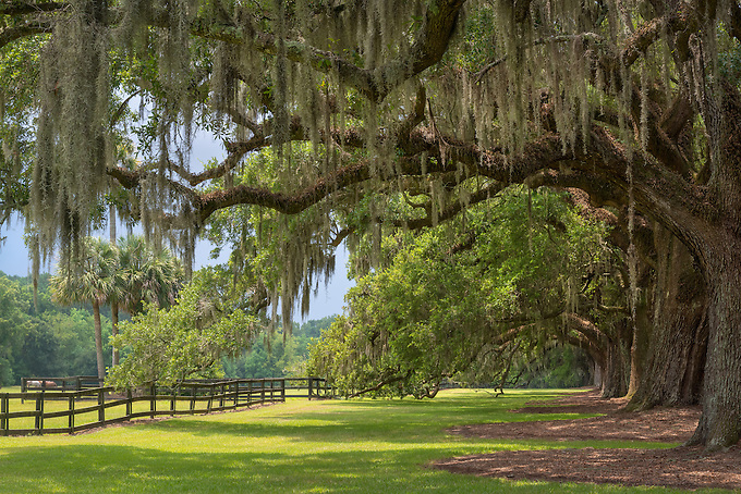 A classic southern scene of overhanging oaks at a plantation in South Carolina.