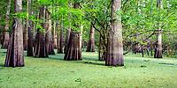Atchafalaya Basin Swamp