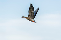 Greater White-fronted Goose (Anser albifrons).  Western U.S., fall.