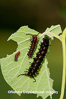 03004-007.03 Pipevine Swallowtail (Battus philenor) caterpillars on Dutchman's Pipevine (Aristolochia marophylla) Marion Co.  IL