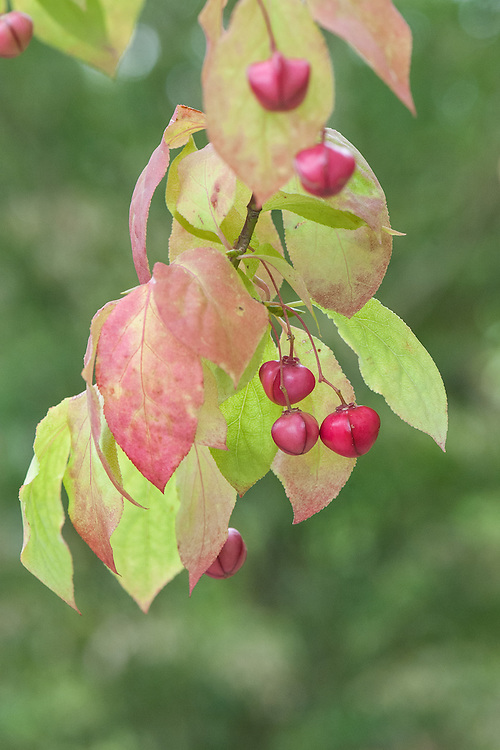 Euonymus planipes, mid August.