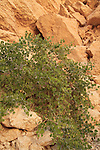 Israel, Egyptian caper in Ein Netafim, the only spring in Eilat mountains