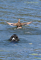 0222-1202  Tri-Colored English Springer Spaniel Hunting Dog Swimming in Water  © David Kuhn/Dwight Kuhn Photography
