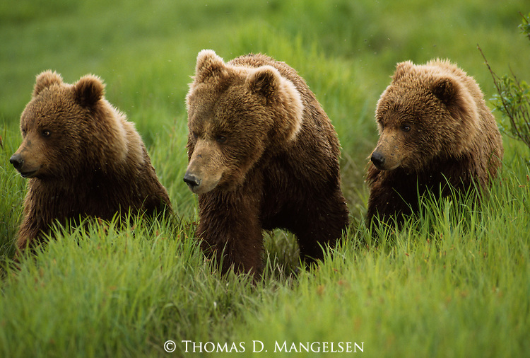 Three grizzly bears standing in a row in Alaska
