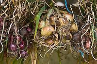 Europe/France/Rhône-Alpes/26/Drôme/Truinas: Tresses d'oignons dans une ferme