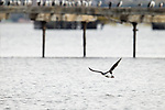 Imperial Shag (Phalacrocorax atriceps) flying near docks, Punta Arenas, Strait of Magellan, Patagonia, Chile