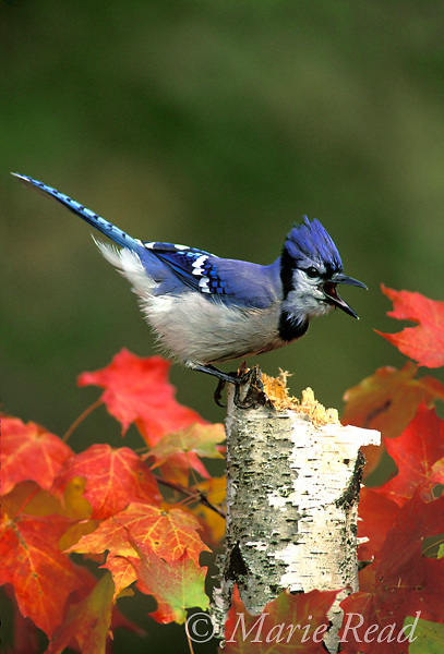 Blue Jay (Cyanocitta cristata) calling amid autumn leaves, Freeville NY<br /> Slide # B117-24