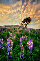 Lone tree and field of lupine. Santa Clarita, CA