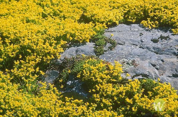 Sedum Aizoon, Crassulaceae, Blair Hill, Greenville, ME.