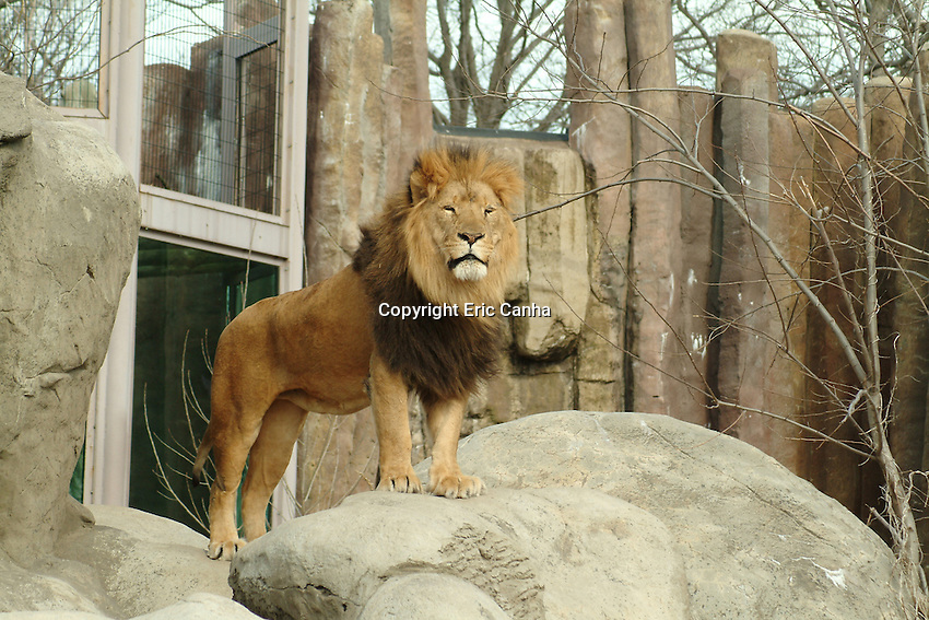 A lion stands on a rock watching zoo goers