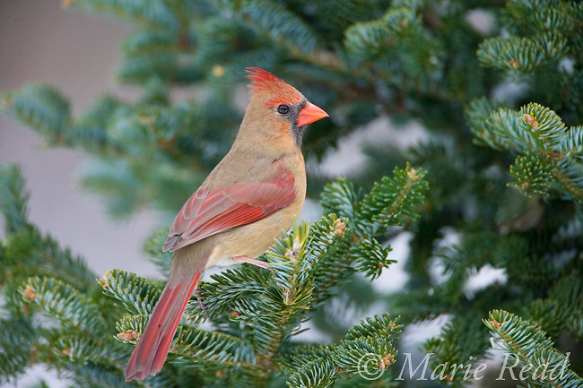 Northern Cardinal (Cardinalis cardinalis) female perched in fir in winter, New York, USA