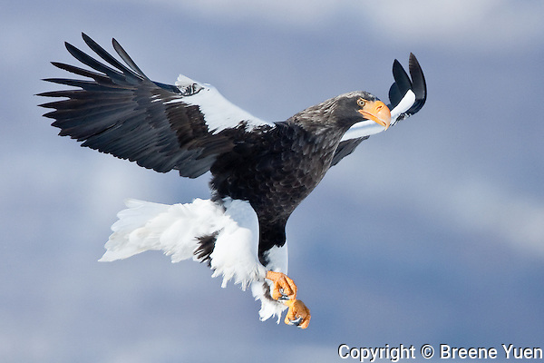 A Stellar Sea Eagle  comes in for a landing on an ice floe, near Rausu, Shiretoko Peninsula, Japan, February 2008