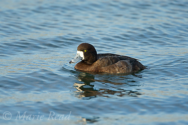 Greater Scaup (Aythya marila), adult female swimming, Bolsa Chica Ecological Reserve, California, USA