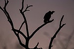 White-backed Vulture (Gyps africanus) at dusk, Greater Makalali Private Game Reserve, South Africa