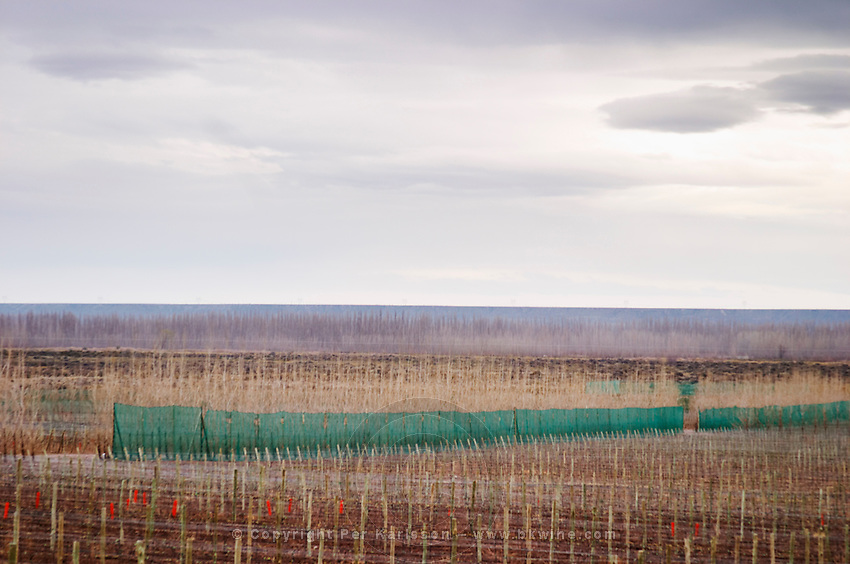 View over the vineyard with wind breaker. Bodega Familia Schroeder Winery, also called Saurus, Neuquen, Patagonia, Argentina, South America