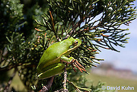 0605-0912  American Green Treefrog Climbing Tree at Outer Banks North Carolina, Hyla cinerea  © David Kuhn/Dwight Kuhn Photography