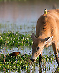 Marsh Deer grazing with Cattle Tyrant looking on. Ibera marshes, Corrientes, Argentina.