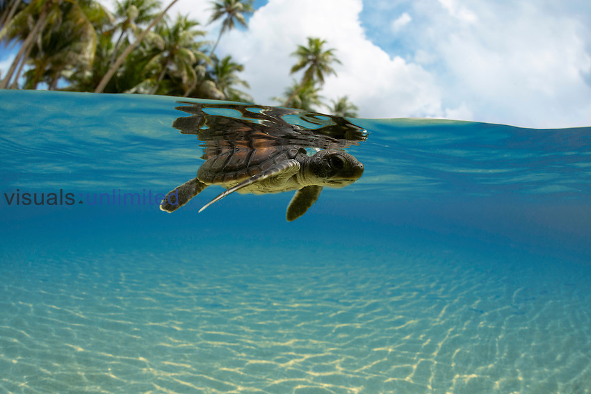 Green Sea Turtle (Chelonia mydas) hatchling entering the ocean, Yap, Micronesia.