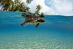Green Sea Turtle (Chelonia mydas) hatchling entering the ocean, Yap, Micronesia.