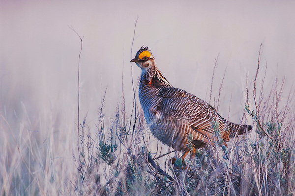 Lesser Prairie-Chicken, Tympanuchus pallidicinctus, male perched, Canadian, Panhandle, Texas, USA