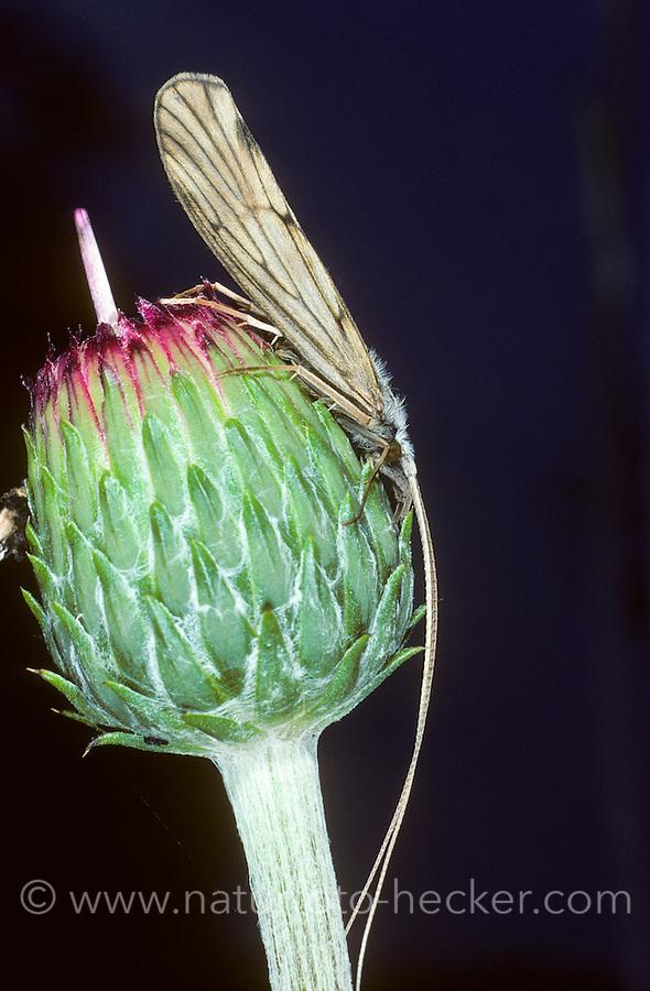 Köcherfliege, Gezähntfühlerige Köcherfliege, Odontocerum albicorne, Silver Sedge