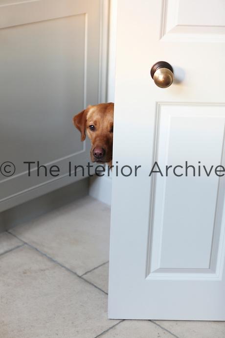 A cute labrador peers around the door.