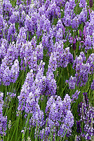 Lavandula 'Provence Everest' English lavender herb in blue purple flowers, fragrance garden for perfume