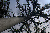 A Ceiba tree, the national tree of Guatemala, seen from below at Tikal.
