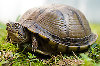 A female box turtle.<br />