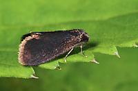 Kleiner Rauch-Sackträger, Sackträger, Psyche casta, bagworm, Echte Sackträger, Psychidae, bagworm moths, bagworms, bagmoths
