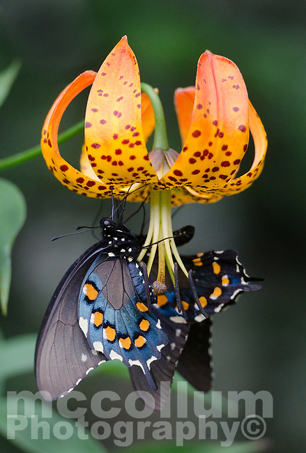 Michael McCollum<br /> 8/1/17<br /> A pair of 'Astyanax' Red-spotted Purple Limenitis arthemis astyanax, on a Turk's Cap Lily near the<br /> Great Smoky Mountain Parkway, North Carolina.