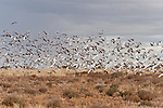Galahs (Eolophus roseicapilla) and little corellas (Cacatua sanguinea) feed on the seeds of the abundant grass fields of the outback.