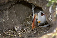 Atlantic Puffin (Fratercula arctica), adult looking out of burrow, Farne Islands, Northumberland, England, United Kingdom, Europe
