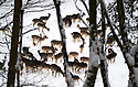29/12/17<br /> <br /> A herd of deer are photographed through a snowy woodland at the Chestnut Wildlife Centre, near Chapel-en-le-Frith in the Derbyshire Peak District.<br /> <br /> All Rights Reserved F Stop Press Ltd. +44 (0)1335 344240 +44 (0)7765 242650  www.fstoppress.com