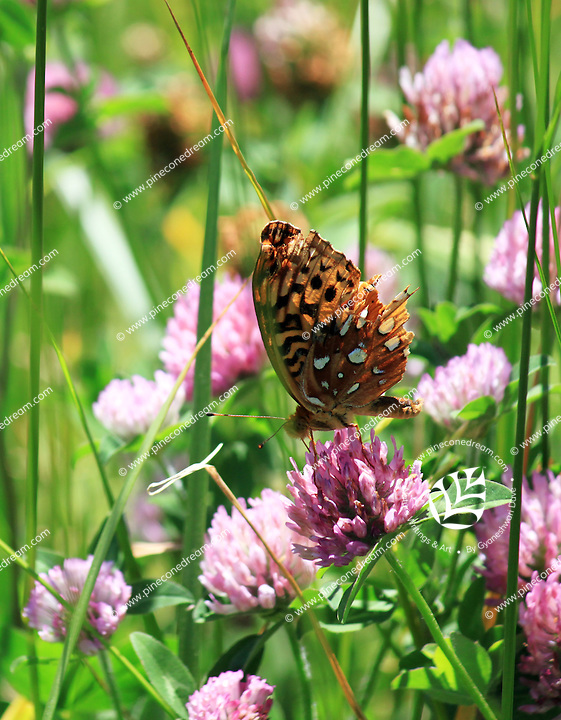 Stock photo: Great Spangled Fritillary butterly pollinating on pink hawkweed wildflowers in a meadow of the great smoky mountain national park in Tennessee, USA.